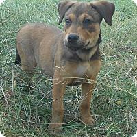 Adopt A Pet :: Brandy - Huntsville, AL