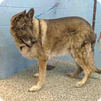German Shepherd Dog Mix Dog for adoption in San Bernardino, California - URGENT on 10/27 SAN BERNARDINO