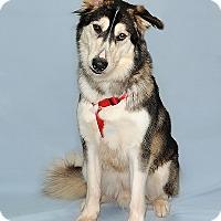Siberian Husky/Alaskan Malamute Mix Dog for adoption in Gatineau, Quebec - Dexter
