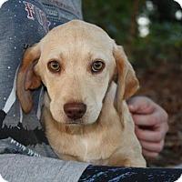 Adopt A Pet :: Ivory $250 - Seneca, SC