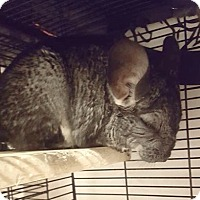 Chinchilla for adoption in Patchogue, New York - Misty