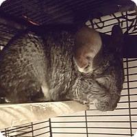 Adopt A Pet :: Misty - Patchogue, NY