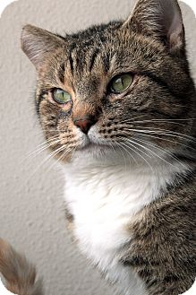 Domestic Shorthair Cat for adoption in St. Louis, Missouri - Mingus