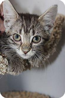 Domestic Mediumhair Kitten for adoption in Louisville, Kentucky - Genieva
