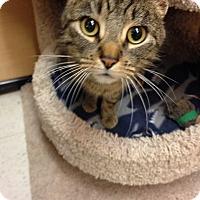 Adopt A Pet :: Phoebe - Salem, NH