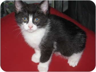 Domestic Shorthair Kitten for adoption in Jeffersonville, Indiana - Romeo