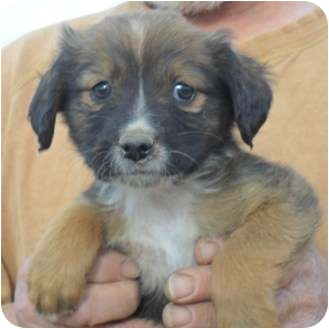 Four | Adopted Puppy | 111611D | Anton, TX | Pomeranian ...