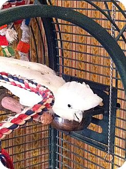 Cockatoo for adoption in St. Louis, Missouri - Macarena