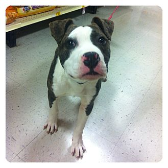 American Pit Bull Terrier/American Staffordshire Terrier Mix Puppy for adoption in Louisville, Kentucky - Happy