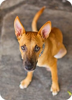 Belgian Shepherd/Shepherd (Unknown Type) Mix Dog for adoption in Houston, Texas - Joe