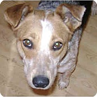 Adopt A Pet :: Holly - in Flagstaff - Scottsdale, AZ