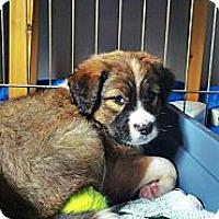 Adopt A Pet :: Pinto - Gig Harbor, WA