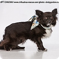 Adopt A Pet :: Cha Cha - Dallas, TX
