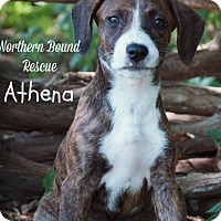 Adopt A Pet :: Athena - Southington, CT