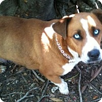 Adopt A Pet :: Sapphire - san Antonio, TX