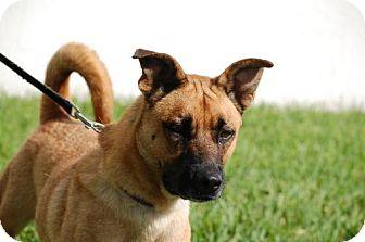 Shepherd (Unknown Type) Mix Dog for adoption in Palmetto Bay, Florida - Sirus