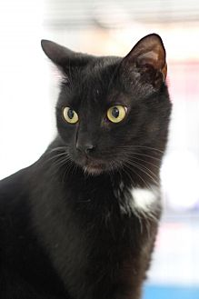 Domestic Shorthair Cat for adoption in Winston-Salem, North Carolina - Addie