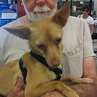 Toy Fox Terrier/Parson Russell Terrier Mix Dog for adoption in Fresno, California - Twister