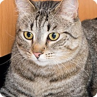 Domestic Shorthair Cat for adoption in Philadelphia, Pennsylvania - Skylar