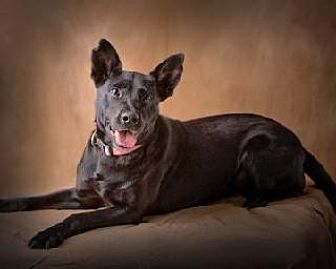 Labrador Retriever Dog for adoption in Little Rock, Arkansas - GIZELLE