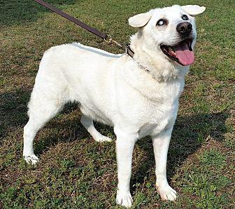 Akita Labrador Retriever Mix Dog For Adoption In Post
