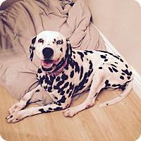 Dalmatian Dog for adoption in Gardena, California - Tinkerbell