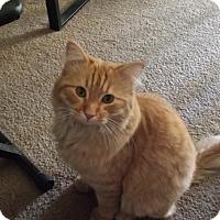 Domestic Longhair Cat for adoption in Mesa, Arizona - Behr