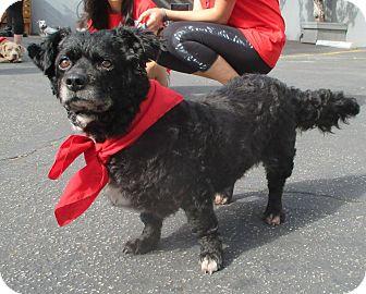 Cocker Spaniel/Pug Mix Dog for adoption in Los Angeles, California - GRETA