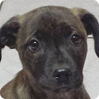 Adopt A Pet :: Hazel AD 03-05-16 - Preston, CT