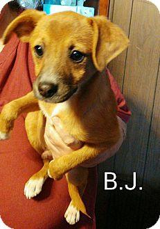 Terrier (Unknown Type, Medium) Mix Dog for adoption in Hagerstown, Maryland - BJ
