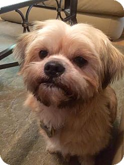 Shih Tzu Dog for adoption in Euless, Texas - John Carroll Lynch