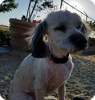 Havanese Mix Dog for adoption in Apple Valley, California - Pretty Penny