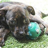 Adopt A Pet :: Taylor - Ft. Lauderdale, FL