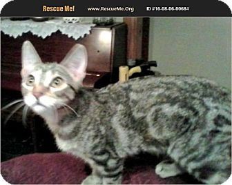 American Shorthair Kitten for adoption in Horseshoe Bay, Texas - Sassy