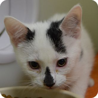 Domestic Shorthair Kitten for adoption in Wheaton, Illinois - Sky