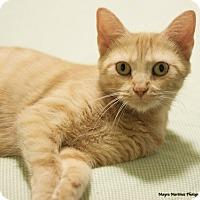 Adopt A Pet :: Prairie Dawn - Knoxville, TN