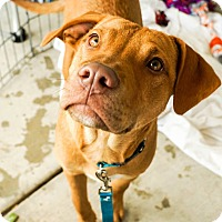 Adopt A Pet :: ROLO - Red Lion, PA