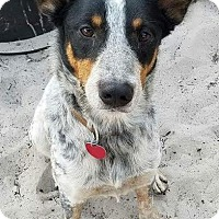 Australian Cattle Dog Dog for adoption in Bradenton, Florida - Snoop