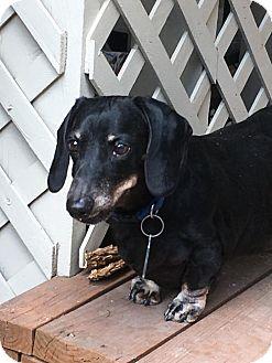 Dachshund Dog for adoption in Orangeburg, South Carolina - Ajax