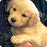 Adopt A Pet :: Chloe - Enfield, CT
