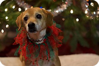 Beagle Mix Dog for adoption in Indianapolis, Indiana - Archie