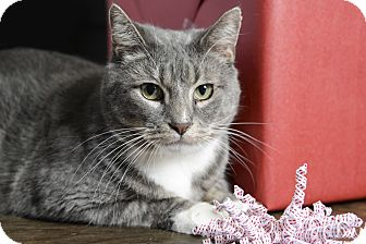 Domestic Shorthair Cat for adoption in Whitehall, Pennsylvania - Link
