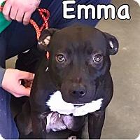 Adopt A Pet :: Emma-URGENT - Springfield, MA