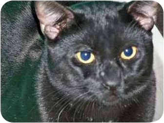 Domestic Shorthair Cat for adoption in Secaucus, New Jersey - Don Draper