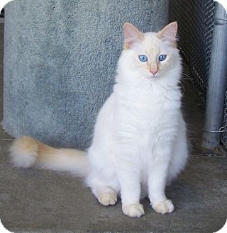 Domestic Longhair Cat for adoption in Grants Pass, Oregon - Tigger