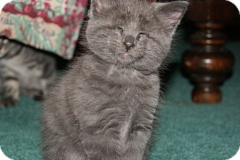 Domestic Mediumhair Kitten for adoption in Trevose, Pennsylvania - Lullaby - Blind Kitten