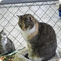 Domestic Shorthair Cat for adoption in East Smithfield, Pennsylvania - Jamie