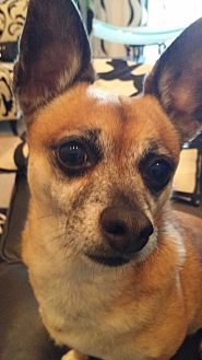 Chihuahua Mix Dog for adoption in Gilbert, Arizona - Chollo