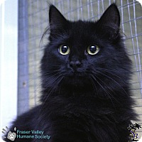 Adopt A Pet :: Zorro - Mission, BC