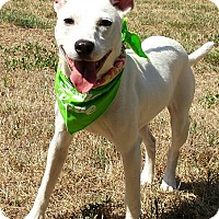 Whippet/Terrier (Unknown Type, Medium) Mix Dog for adoption in Terrell, Texas - Carolyne
